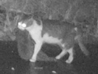 希少なアマミノクロウサギを捕まえたネコ=2017年1月、鹿児島県・徳之島(森林総合研究所提供)
