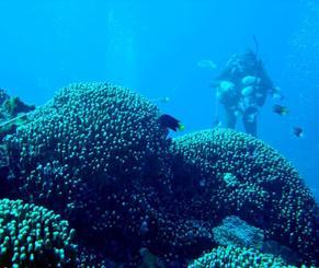 遺伝子解析した群集とは別の場所のアオサンゴを調査するダイバー=6日、名護市大浦湾(ちゅら海を守り、活かす海人の会提供)