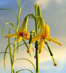 「里親」によって開花したキバナノヒメユリ