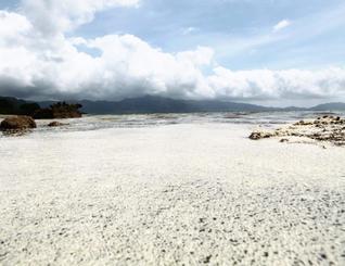 海を真っ白に染めるウミショウブの雄花=石垣市北部の海岸