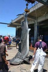 八重山近海で駆除された500キロ級のイタチザメ=石垣市新栄町、八重山漁協