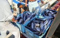 大漁!沖縄の「カツオの町」 本年度最多の水揚げ