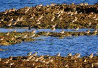 ムナグロ大群 羽休め/泡瀬干潟で400羽確認