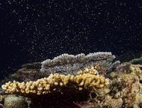 サンゴ産卵、名護・大浦湾に新たな命 水中写真家の中村卓哉さん撮影