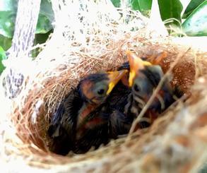 沖縄署で誕生したメジロの赤ちゃん=5月28日、同署