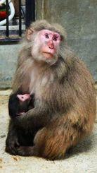 生まれたばかりのヤクシマザルの赤ちゃんをを抱く母ザルのさばこ(こどもの国提供)