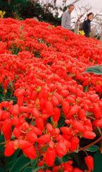 赤いじゅうたんのように一面に咲き、観光客の目を楽しませるキダチベンケイソウ=24日、うるま市与那城宮城
