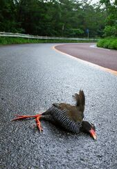 車にひかれて死んだとみられるヤンバルクイナ=23日午前7時45分ごろ、国頭村安田の県道2号(今泉真也さん提供)