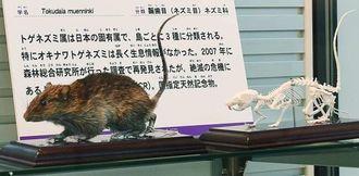 絶滅が危ぶまれていた幻のネズミ、オキナワトゲネズミの剥製と全身骨格