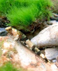 砂利に紛れてカモフラージュ? 沖縄で新種ハゼ、「ニンジャ」命名