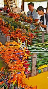 彼岸に向け「ことしもいい花」 南風原産ストレリチア