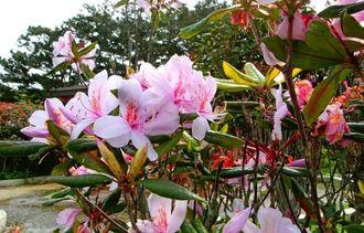 春の訪れを告げるセイシカの花=石垣市登野城・バンナ公園