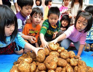 収穫したジャガイモに触る園児たち=7日、宜野湾市の市保険相談センター