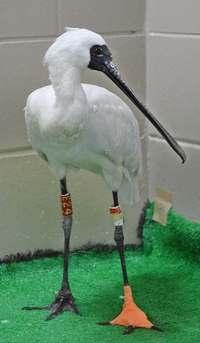 沖縄・泡瀬干潟での保護から2カ月 右足けがのクロツラヘラサギ、18日に放鳥