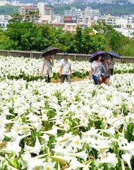 5万輪のテッポウユリが満開を迎えた県総合運動公園のユリ園=1日、沖縄市