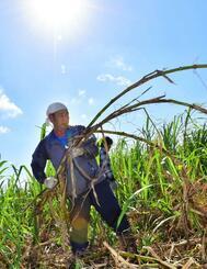 日差しが照り付ける中、サトウキビの収穫作業に精を出す男性=14日午前、八重瀬町志多伯(金城健太撮影)