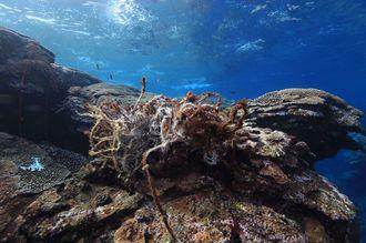 写真4 サンゴにからみついたごみ。2013年12月7日、儀志布で撮影