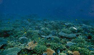 ユビエダハマサンゴの群落。小魚の多さは石垣の他の海域にない名蔵湾の特徴(八重山ダイビング協会提供)