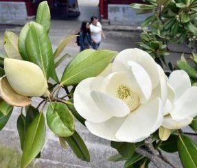 大きなおわん形の花を咲かせるタイサンボク=29日、那覇市久米・福州園(金城健太撮影)