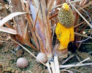 マントのような黄色の菌網が特徴のウスキキヌガサタケ(右)と卵形のつぼみ(左の二つ)=19日午前、多良間村塩川(羽地邦雄さん撮影)