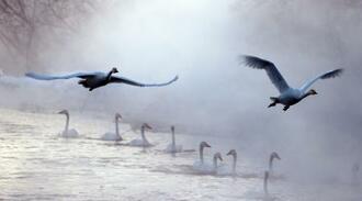 二十四節気の「大寒」を迎え、厳しい冷え込みとなった北海道帯広市の十勝川の支流で立ち上る川霧の中、飛び立つハクチョウ=20日早朝