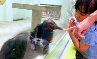 すっかり人気者になったチンパンジーのすぐる(左)。指をガラス越しで合わせる来園者が後を絶たない=22日、沖縄こどもの国