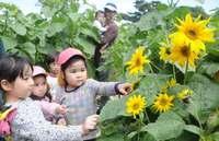 震災を記憶に、絆を強固に 福島のヒマワリで迷路 沖縄平和祈念公園