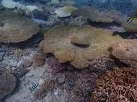 国内最大のサンゴ礁、半分以上が死滅 97%が白化