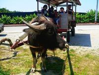 水牛車でゆったりまったり 沖縄のマングローブ散策、人気じわり